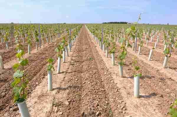 planter un vigne