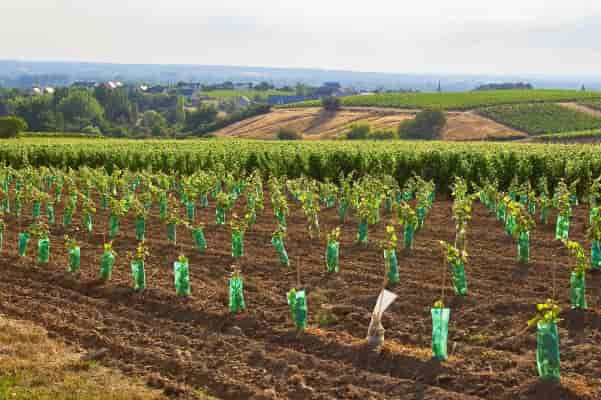 restructuration vignoble